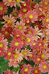 Coral Daisy Chrysanthemum (Chrysanthemum 'Coral Daisy') at Gardener's Supply Company