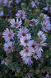 Woods Blue Aster (Aster 'Woods Blue') at Gardener's Supply Company