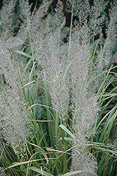 Korean Reed Grass (Calamagrostis brachytricha) at Gardener's Supply Company