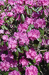 P.J.M. Rhododendron (Rhododendron 'P.J.M.') at Gardener's Supply Company