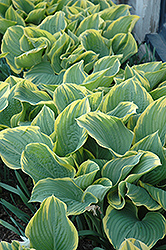 Sagae Hosta (Hosta 'Sagae') at Gardener's Supply Company