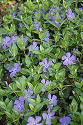 Dart's Blue Periwinkle (Vinca minor 'Dart's Blue') at Gardener's Supply Company