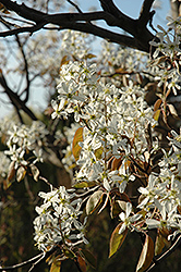 Cumulus Serviceberry (Amelanchier laevis 'Cumulus') at Gardener's Supply Company