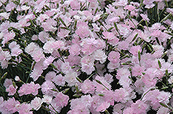 Mountain Mist Pinks (Dianthus gratianopolitanus 'Mountain Mist') at Gardener's Supply Company