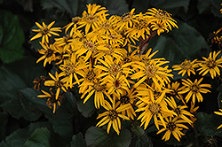 Britt Marie Crawford Rayflower (Ligularia dentata 'Britt Marie Crawford') at Gardener's Supply Company
