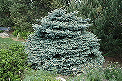 Montgomery Blue Spruce (Picea pungens 'Montgomery') at Gardener's Supply Company