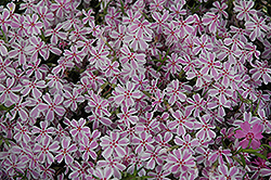 Candy Stripe Moss Phlox (Phlox subulata 'Candy Stripe') at Gardener's Supply Company