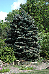 Fat Albert Blue Spruce (Picea pungens 'Fat Albert') at Gardener's Supply Company