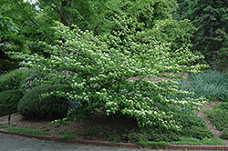 Pagoda Dogwood (Cornus alternifolia) at Gardener's Supply Company