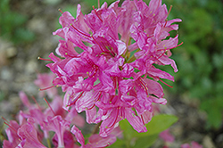 Lilac Lights Azalea (Rhododendron 'Lilac Lights') at Gardener's Supply Company