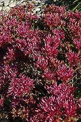 Dragon's Blood Stonecrop (Sedum spurium) at Gardener's Supply Company