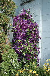 Jackmanii Superba Clematis (Clematis x jackmanii 'Superba') at Gardener's Supply Company