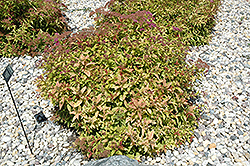 Flaming Mound Spirea (Spiraea japonica 'Flaming Mound') at Gardener's Supply Company