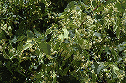 Greenspire Linden (Tilia cordata 'Greenspire') at Gardener's Supply Company