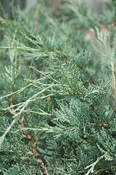 Moonglow Juniper (Juniperus scopulorum 'Moonglow') at Gardener's Supply Company