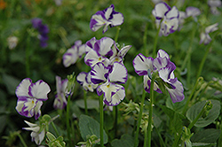 Columbine Pansy (Viola 'Columbine') at Gardener's Supply Company