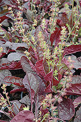 Purple Knockout Sage (Salvia lyrata 'Purple Knockout') at Gardener's Supply Company