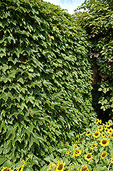 Boston Ivy (Parthenocissus tricuspidata) at Gardener's Supply Company