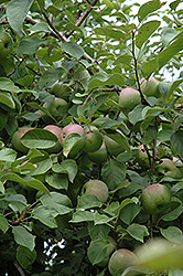 Liberty Apple (Malus 'Liberty') at Gardener's Supply Company