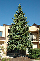 White Fir (Abies concolor) at Gardener's Supply Company