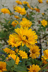 Bressingham Doubloon Sunflower (Heliopsis helianthoides 'Bressingham Doubloon') at Gardener's Supply Company