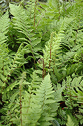 Lady in Red Fern (Athyrium filix-femina 'Lady in Red') at Gardener's Supply Company