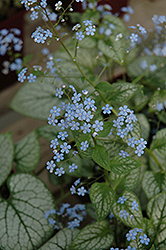 Jack Frost Bugloss (Brunnera macrophylla 'Jack Frost') at Gardener's Supply Company