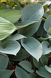 Halcyon Hosta (Hosta 'Halcyon') at Gardener's Supply Company