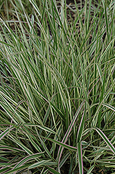 Variegated Reed Grass (Calamagrostis x acutiflora 'Overdam') at Gardener's Supply Company