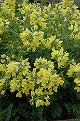 Yellow Wild Indigo (Baptisia sphaerocarpa) at Gardener's Supply Company