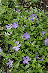 Common Periwinkle (Vinca minor) at Gardener's Supply Company