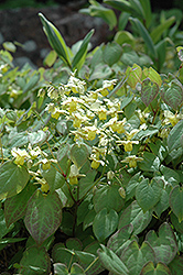 Yellow Barrenwort (Epimedium x versicolor 'Sulphureum') at Gardener's Supply Company