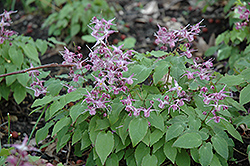 Lilafee Bishop's Hat (Epimedium grandiflorum 'Lilafee') at Gardener's Supply Company