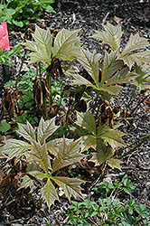 Bronzeleaf Rodgersia (Rodgersia podophylla 'Bronze Form') at Gardener's Supply Company