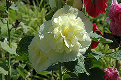 Chater's Double Yellow Hollyhock (Alcea rosea 'Chater's Double Yellow') at Gardener's Supply Company