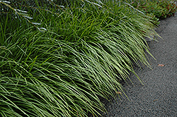 Lily Turf (Liriope spicata) at Gardener's Supply Company