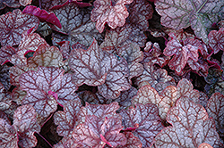 Encore Coral Bells (Heuchera 'Encore') at Gardener's Supply Company