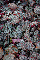 Raspberry Ice Coral Bells (Heuchera 'Raspberry Ice') at Gardener's Supply Company