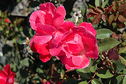 Pink Knock Out® Rose (Rosa 'Radcon') at Gardener's Supply Company