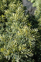 Dwarf Bright Gold Yew (Taxus cuspidata 'Dwarf Bright Gold') at Gardener's Supply Company