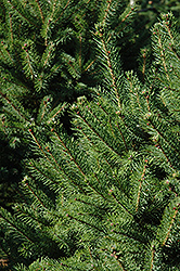 North Star Spruce (Picea glauca 'North Star') at Gardener's Supply Company