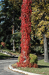 Virginia Creeper (Parthenocissus quinquefolia) at Gardener's Supply Company