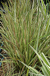 Northern Lights Tufted Hair Grass (Deschampsia cespitosa 'Northern Lights') at Gardener's Supply Company