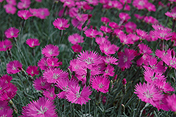 Firewitch Pinks (Dianthus gratianopolitanus 'Firewitch') at Gardener's Supply Company
