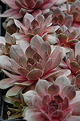 Sanford's Hybrid Hens And Chicks (Sempervivum 'Sanford's Hybrid') at Gardener's Supply Company