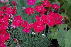 Neon Star Pinks (Dianthus 'Neon Star') at Gardener's Supply Company