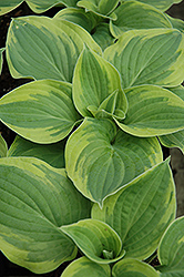 Wide Brim Hosta (Hosta 'Wide Brim') at Gardener's Supply Company