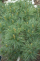 Blue Shag White Pine (Pinus strobus 'Blue Shag') at Gardener's Supply Company