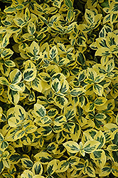 Emerald 'n' Gold Wintercreeper (Euonymus fortunei 'Emerald 'n' Gold') at Gardener's Supply Company