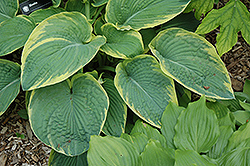 Great Arrival Hosta (Hosta 'Great Arrival') at Gardener's Supply Company